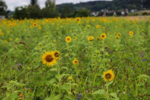 HABKA_Sonnenblumen